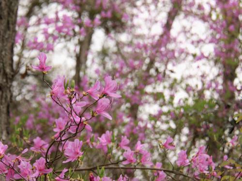 春爛漫!花巡りの旅 (1泊2日)竹原の町並み保存地区と尾道編 2−2