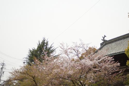 桜散り往く笠寺観音漂流
