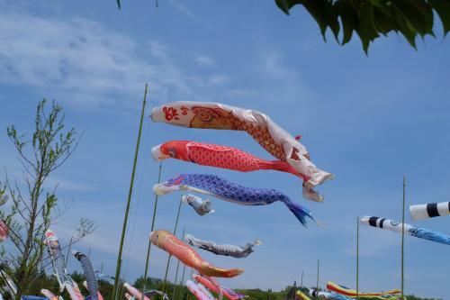 芝桜 ネモフィル咲いて 鯉のぼり泳ぐ  下 群馬県 太田市