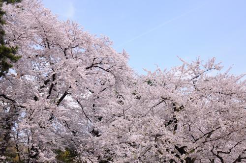 しばらく見納めの弘前城址の桜