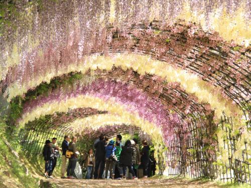 絶景!!藤のトンネル