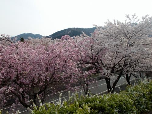 養老公園の桜