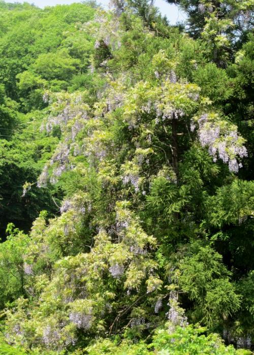 山の藤の花を見に出かけました。(猪苗代湖周辺の散策、)