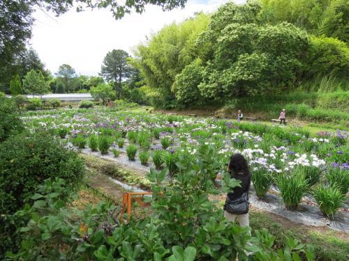 花菖蒲園(加古川・日岡公園)