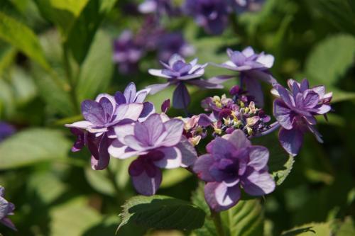 紫陽花 in 加茂花菖蒲園