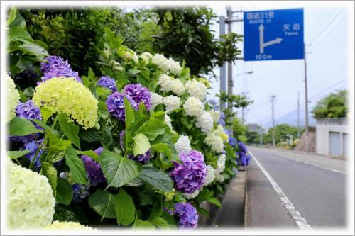 Solitary Journey [1396] 紫陽花の咲く季節になりましたネ。住宅街の市道を彩る紫陽花♪ <汐見ヶ丘団地'あじさい通り'>広島県呉市