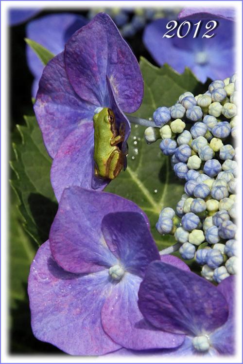Solitary Journey [1397] 雨粒が紫陽花の葉を打ち、雫が落ちてゆく。梅雨どきを美しく彩る花'紫陽花'<花の寺'観音寺'>広島市佐伯区
