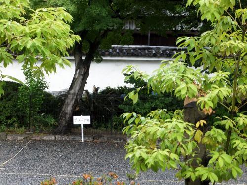 雨の庭の半夏生が美しく半化粧~建仁寺 両足院~
