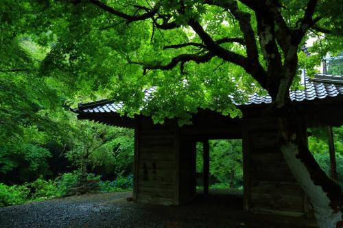 京都 あじさい寺めぐり~東光院、丹州觀音寺、円満院