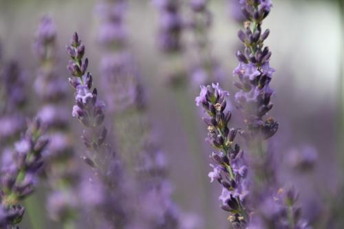 ショック!今年で見納め!! 久喜市菖蒲のラベンダー堤 今が見ごろそして最後の紫の花たち