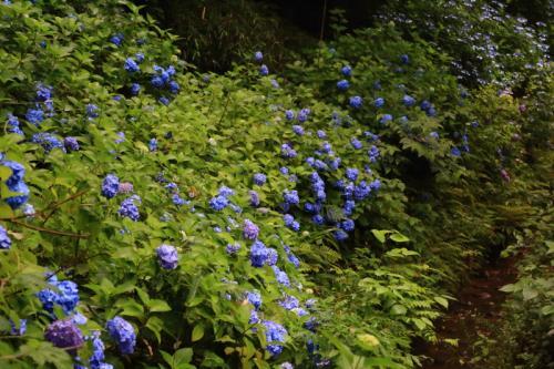 雨の京都へ紫陽花を見に行こう