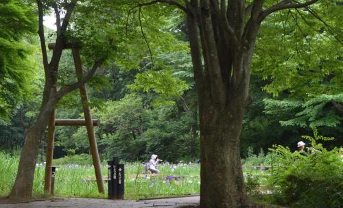 6月の花(花菖蒲、紫陽花など) 県立四季の森公園、泉谷寺、旧安田庭園 2014年