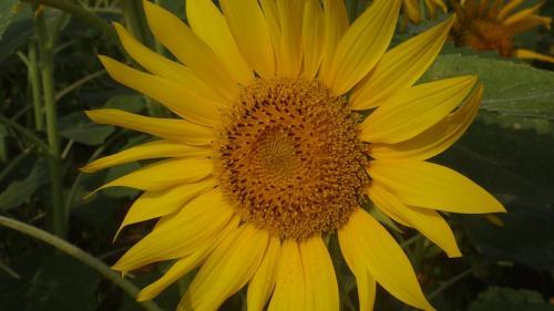 沼津市 浮島の田園地帯に広がるヒマワリの花