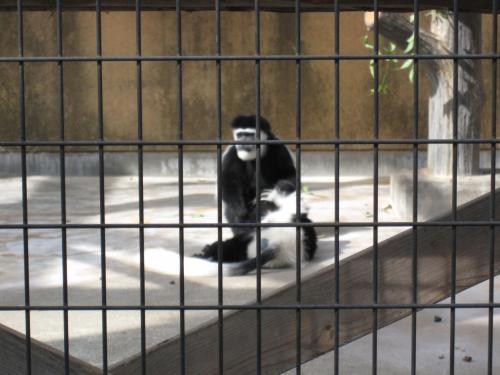 フサオマキザルの画像 p1_12