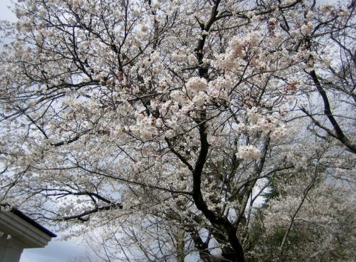2014年昨年の桜です。(宇都宮大学工学部の桜が大好きなので主人と見に行きました)
