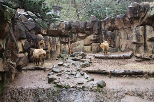 冬に逆戻りしたような早春の多摩動物公園レッサーパンダ詣(4)レッサーパンダ以外のアジア圏とオーストラリア圏の動物たち:コアラのタイチくんやオランウータンのリキくん室内でも元気!&床を歩いてしまうコアラのタイチくん&アジアゾウのアマラとヴィドゥラはいつも仲良し&ユキヒョウ4頭見分けが付かず(苦笑)
