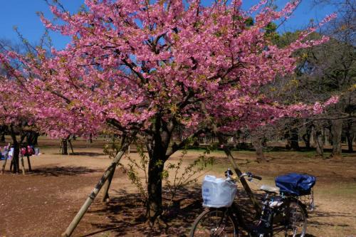 早春 代々木公園 下 河津さくら ギンヨウアカシア