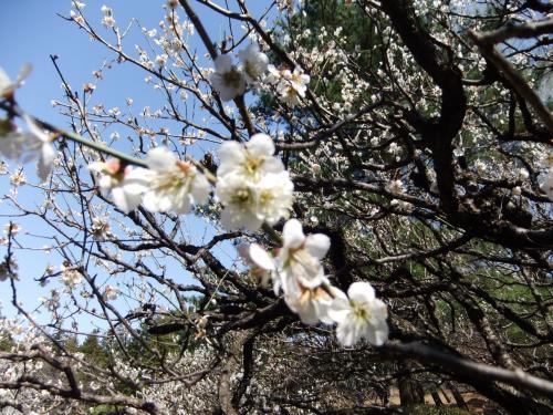 梅が咲いていた神代植物公園の梅園