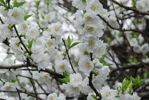 二ヶ領用水 花桃がもうすぐ見頃!(川崎市中原)