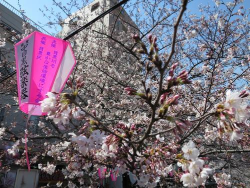 2015年目黒川桜まつり 昼桜と夜桜見比べてきました!!