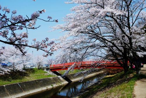 新境川堤の桜(百十郎桜)