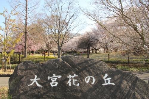 大宮花の丘公苑  満開の桜とチューリップ 春色全開!
