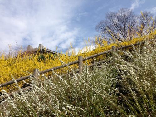 早くも満開の山高神代桜と王仁塚の桜を見に行く