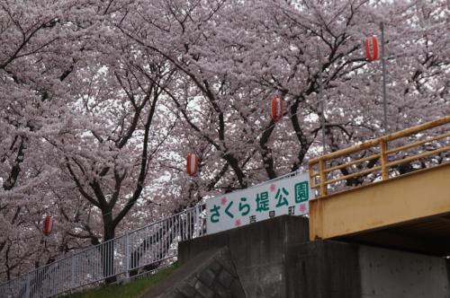 菜の花と桜のコラボがここにも!!  吉見 さくら堤公園は今が見ごろ