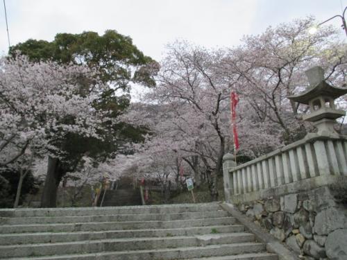 桜と龍野城、輝く共演に行ってみました!