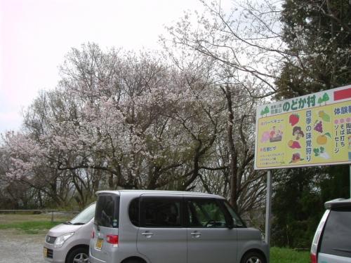 奈良桜だより 信貴山 2015