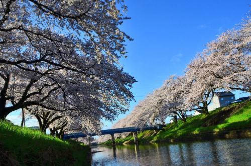 春休みのポカポカ日和・孫と満開の桜を追って!