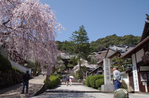 奈良県長谷寺の桜満開