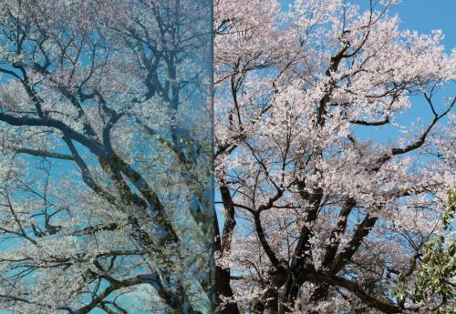 長野県飯田の桜巡りの旅
