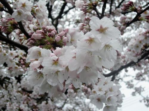 小雨の中に可憐に咲き誇る桜の美しさに癒されました。