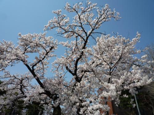 高田公園 観桜会 満開は、晴天に恵まれました♪(^0^)