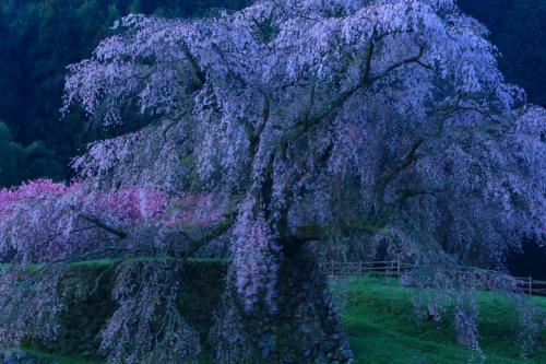 奈良 桜めぐり~又兵衛桜、西光寺、悟真寺、瀧蔵神社