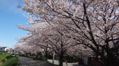 伊丹市天神川沿いの花見 下巻