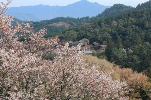 桜に埋もれる「世界遺産・金峯山寺」如意輪寺をブラブラして来ました。
