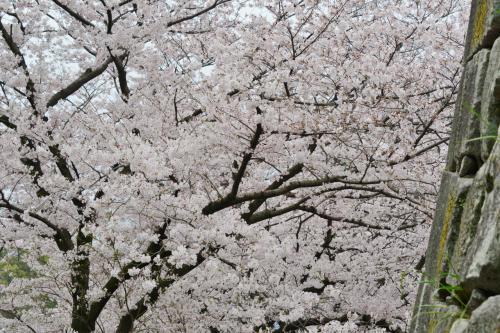 九州サクラ紀行・その4(福岡県)