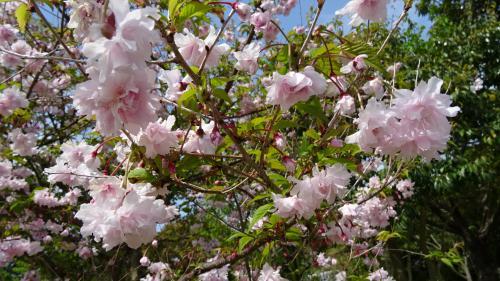 淡路島・東四国庭園めぐり(05) 国営明石海峡公園 桜の花図鑑。