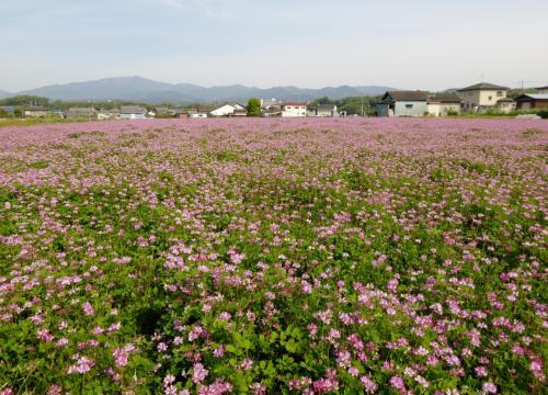 河内長野「花の文化園」 藤とツツジが見頃です。この花なあに?・・・(4月編)