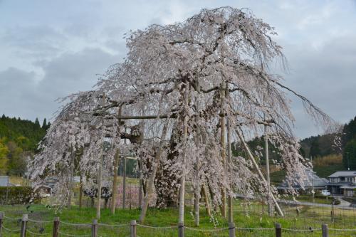 滋賀県甲賀市のサクラ