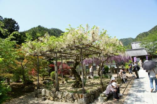 見頃を迎えようとしている百毫寺の九尺藤、真っ赤は霧島つつじが境内を埋め尽くす一の宮神社、久しぶりに見ました田んぼを埋め尽くすれんげ。兵庫県丹波市はお花がいっぱいでした。