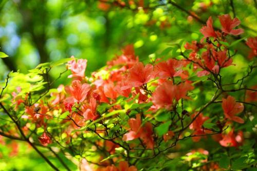 一目千本は、吉野山の桜、一目百万本は・・・2015年