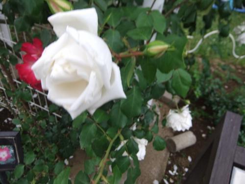 代々木公園のバラは良かったです
