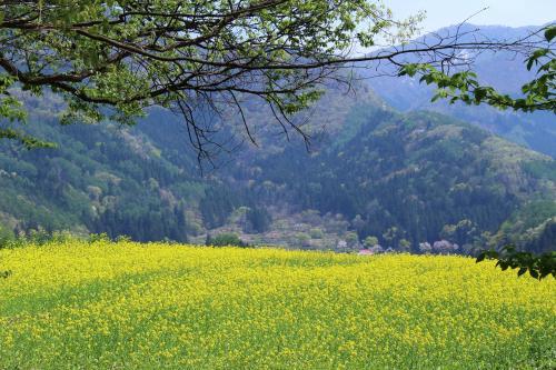 [花旅♪]春の花々を巡る2泊3日の旅(4)~一面の菜の花畑@飯山菜の花公園と、桜の天井@千曲川河川公園