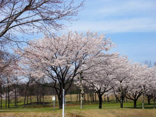 2015年 赤城南面千本桜まつり