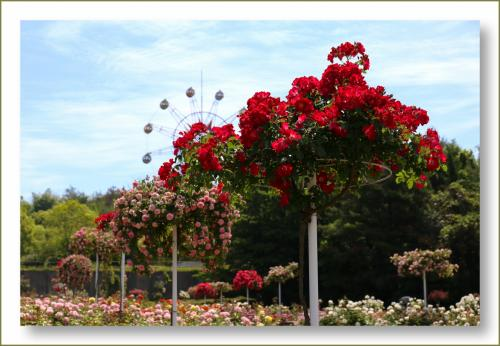 Solitary Journey [1596] 薔薇鑑賞のあと暑かったので古民家でのんびり~♪<蜂ケ峯公園の古民家&和木町歴史資料館>山口県玖珂郡
