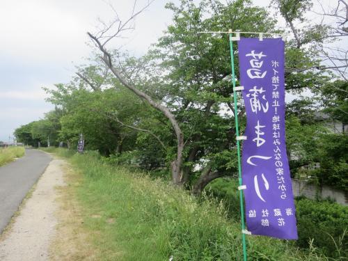 四日市堀川菖蒲園。。。ちょっと見てくるわね。