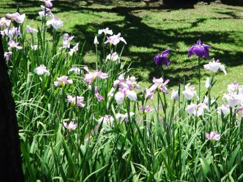 花菖蒲が咲いていた浜離宮恩賜庭園